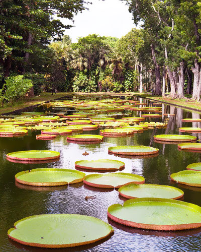 Victoria amazonica, staw lilii wodnych, tropical sun