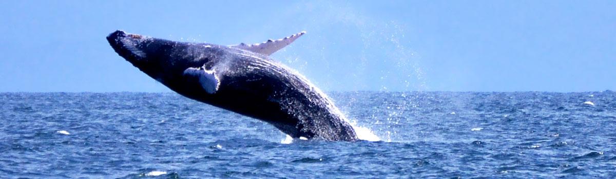 Wieloryby w zatoce Samana