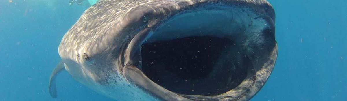 Meksyk - Tropical Sun Tours - Rekin Wielorybi