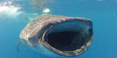 Meksyk - wycieczka HIT! Rekin Wielorybi
